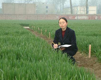 马华平——河南省小麦育种专家